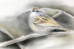 Sparrow - Moineau