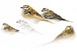 Sparrows Study - Étude de Moineaux