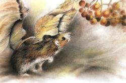 Deer Mouse – Souris Sylvestre