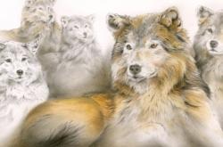 Wolf Study - Étude de loup