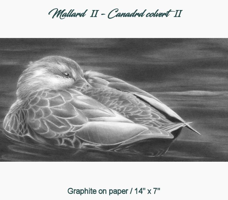 Mallard II - Canard colvert II
