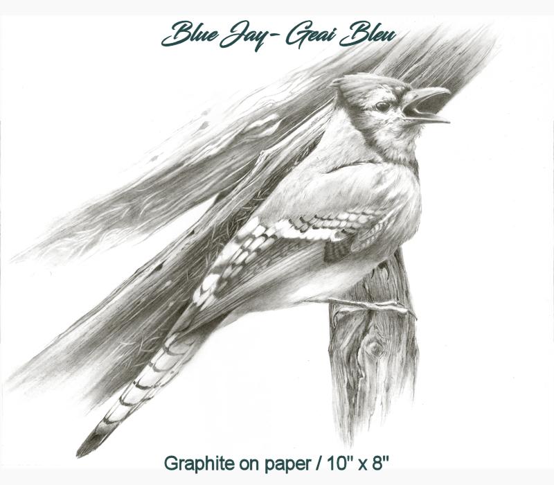Blue Jay - Geai Bleu