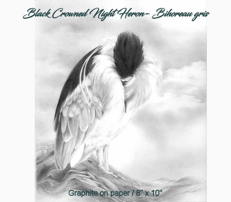 Black Crowned Night Heron- Bihoreau gris