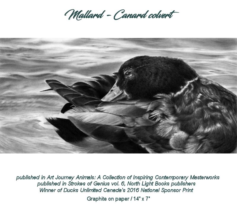 Mallard - Canard colvert