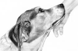 Brady - beagle