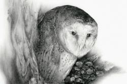 Barn Owl - Chouette Effraie