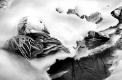 Blue Phase Snow Goose - Oie des Neiges