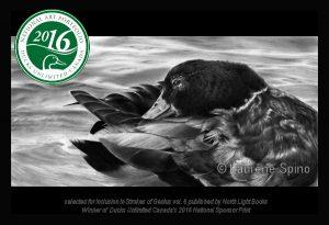 LSpino_Mallard - Ducks Unlimited Canada 2016