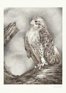 Red-tailed hawks by Canadian wildlife artist Laurene Spino
